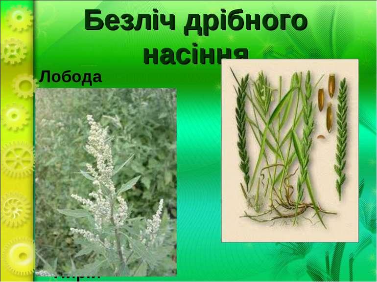 Безліч дрібного насіння Лобода Пирій