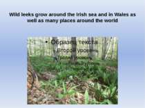 Wild leeks grow around the Irish sea and in Wales as well as many places arou...