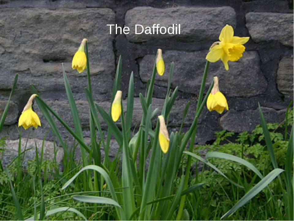 The Daffodil