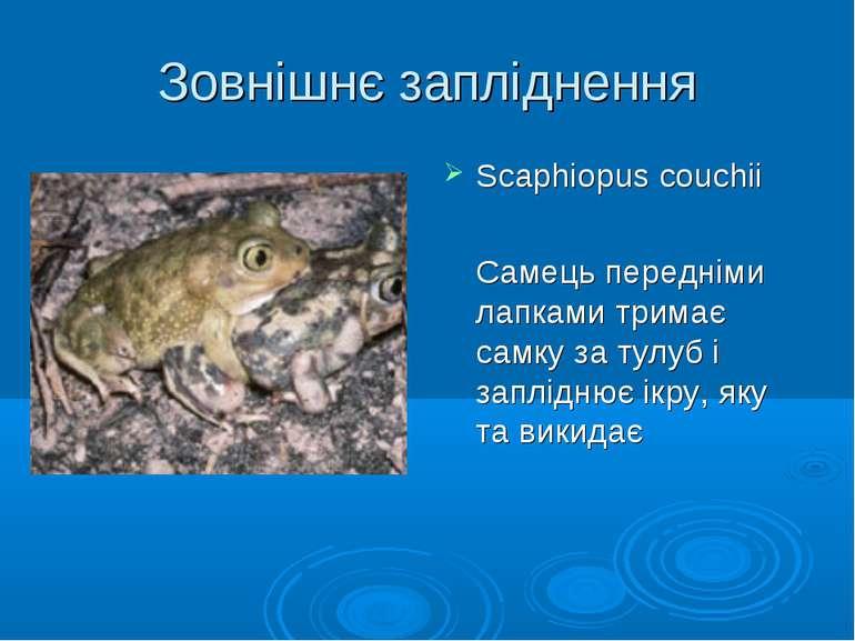 Зовнішнє запліднення Scaphiopus couchii Самець передніми лапками тримає самку...