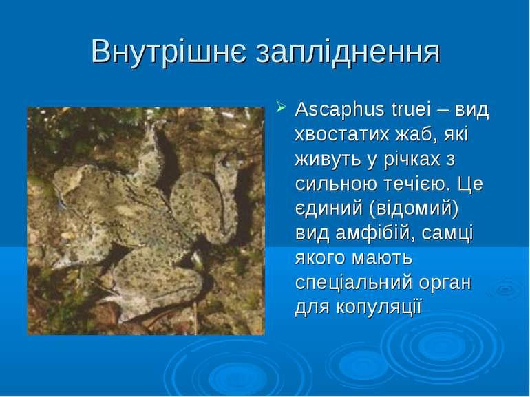 Внутрішнє запліднення Ascaphus truei – вид хвостатих жаб, які живуть у річках...