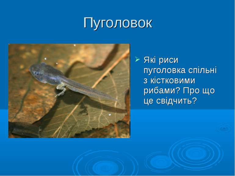 Пуголовок Які риси пуголовка спільні з кістковими рибами? Про що це свідчить?
