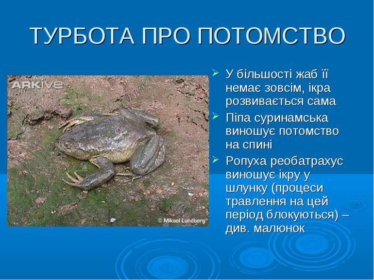 ТУРБОТА ПРО ПОТОМСТВО У більшості жаб її немає зовсім, ікра розвивається сама...
