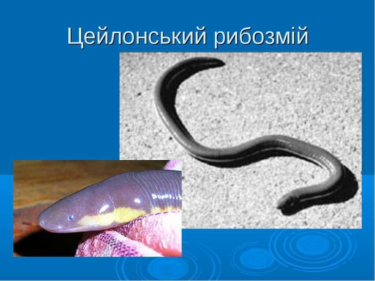 Цейлонський рибозмій