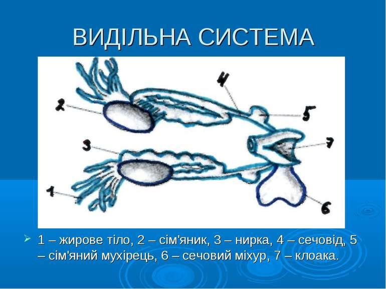 ВИДІЛЬНА СИСТЕМА 1 – жирове тіло, 2 – сім'яник, 3 – нирка, 4 – сечовід, 5 – с...