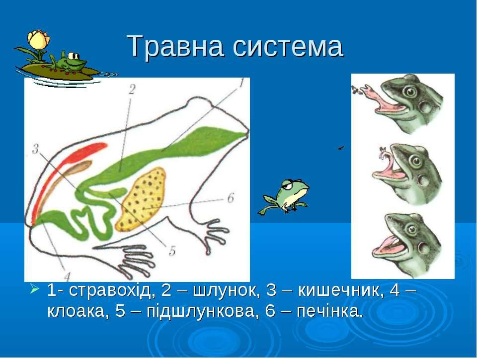 Травна система 1- стравохід, 2 – шлунок, 3 – кишечник, 4 – клоака, 5 – підшлу...
