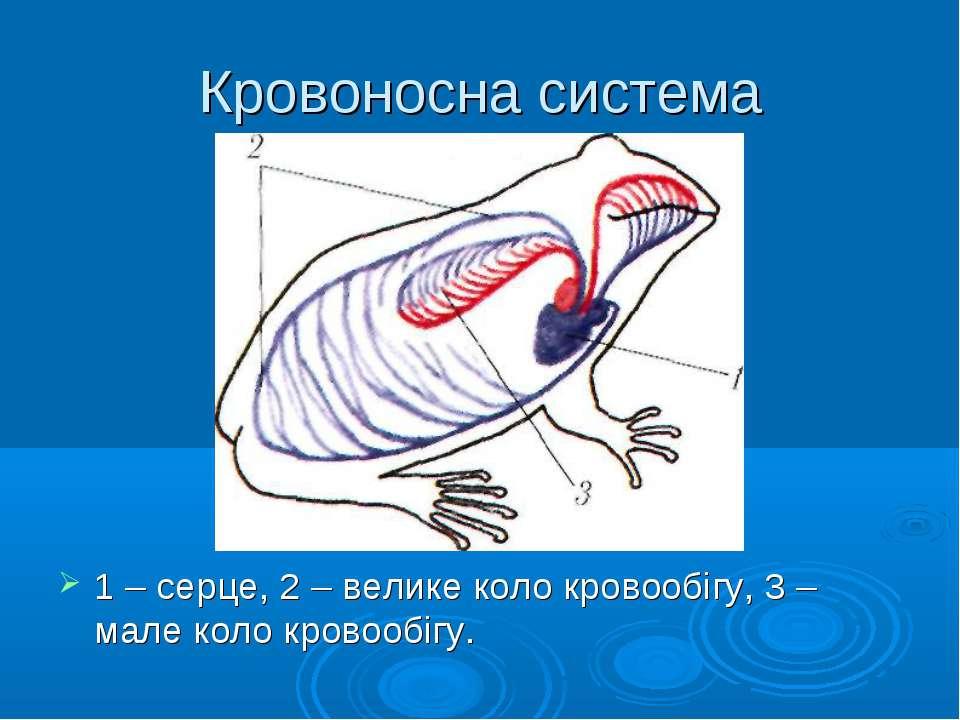Кровоносна система 1 – серце, 2 – велике коло кровообігу, 3 – мале коло крово...