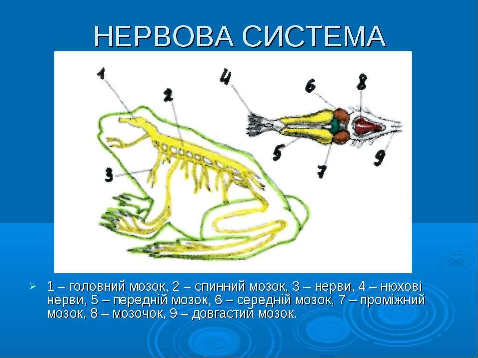 НЕРВОВА СИСТЕМА 1 – головний мозок, 2 – спинний мозок, 3 – нерви, 4 – нюхові ...