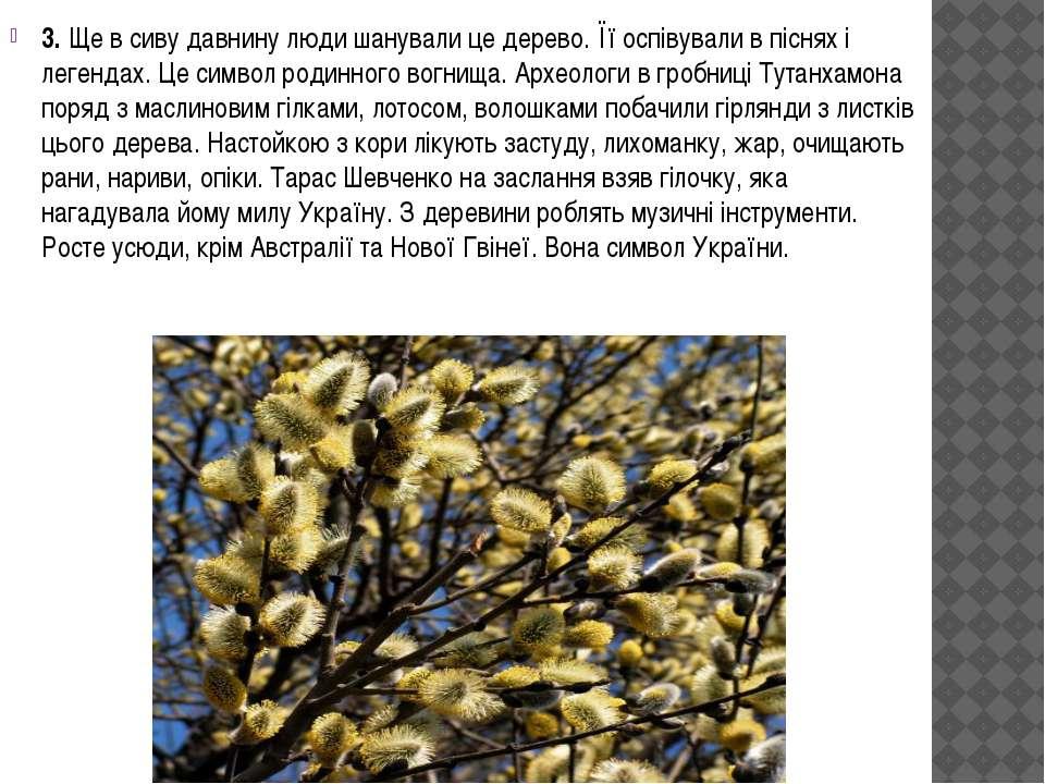 3. Ще в сиву давнину люди шанували це дерево. Її оспівували в піснях і легенд...