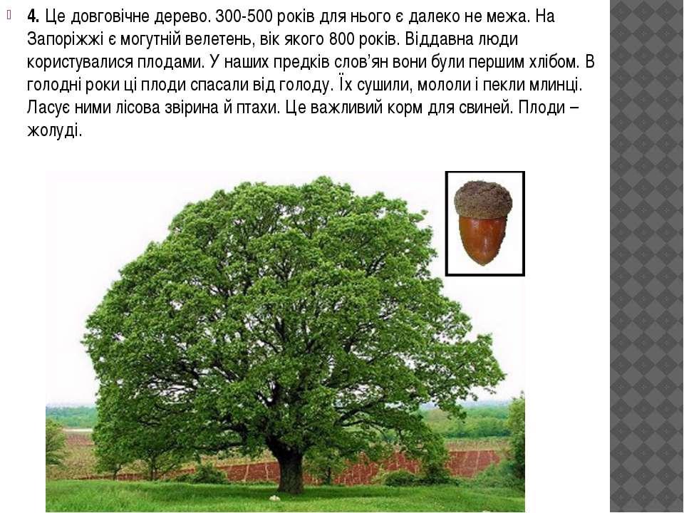 4. Це довговічне дерево. 300-500 років для нього є далеко не межа. На Запоріж...