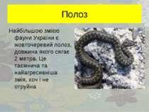 Полоз Найбільшою змією фауни України є жовточеревий полоз, довжина якого сяга...
