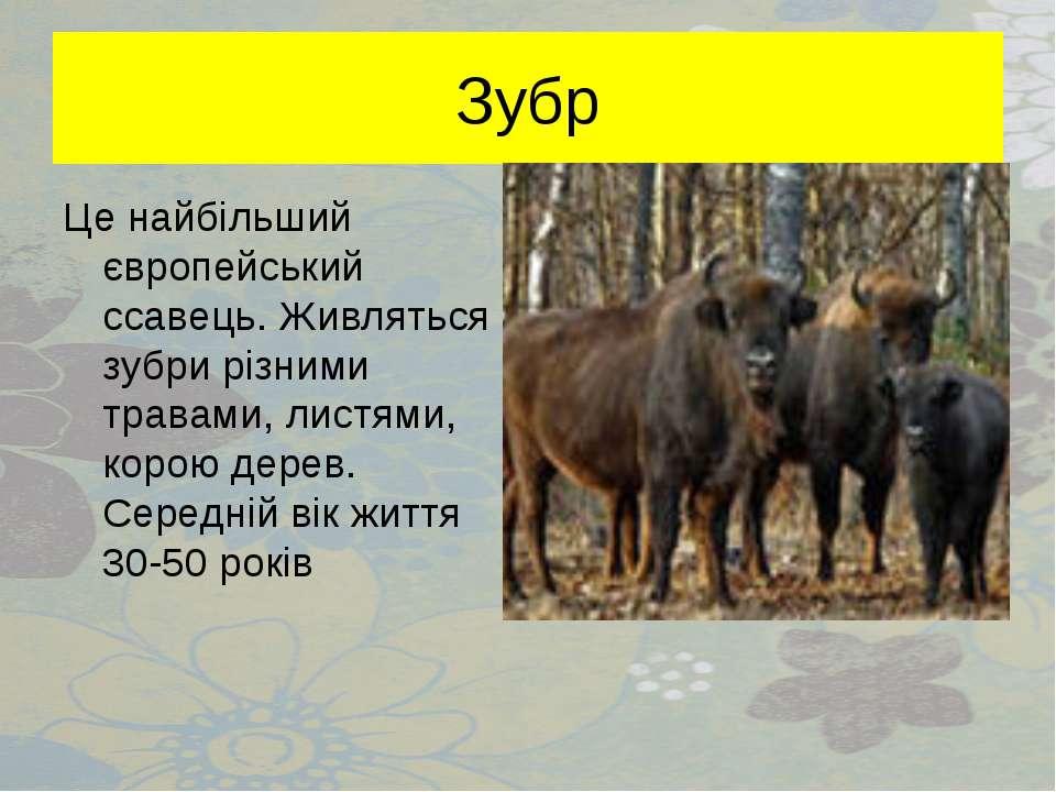 Зубр Це найбільший європейський ссавець. Живляться зубри різними травами, лис...