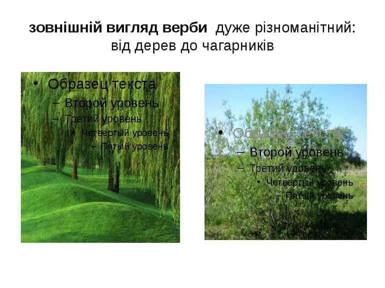 зовнішній вигляд верби дуже різноманітний: від дерев до чагарників