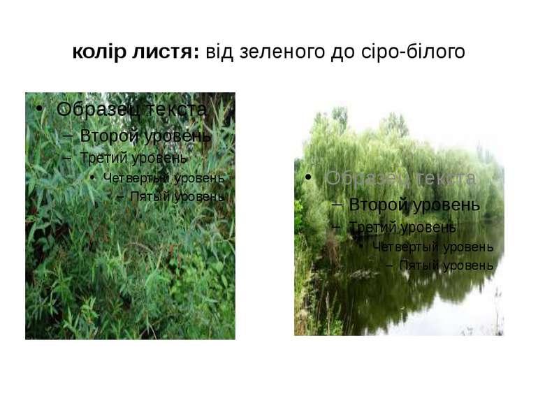 колір листя: від зеленого до сіро-білого