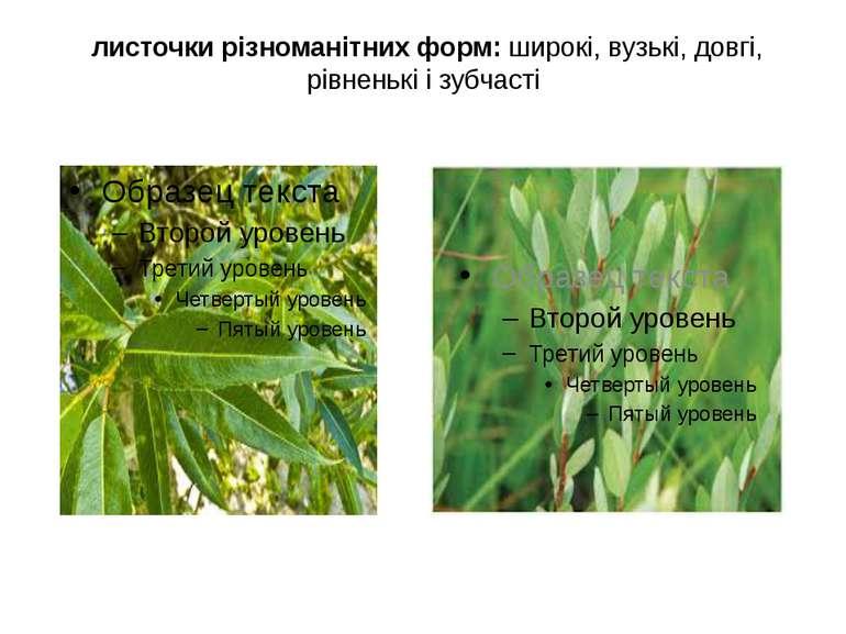 листочки різноманітних форм: широкі, вузькі, довгі, рівненькі і зубчасті