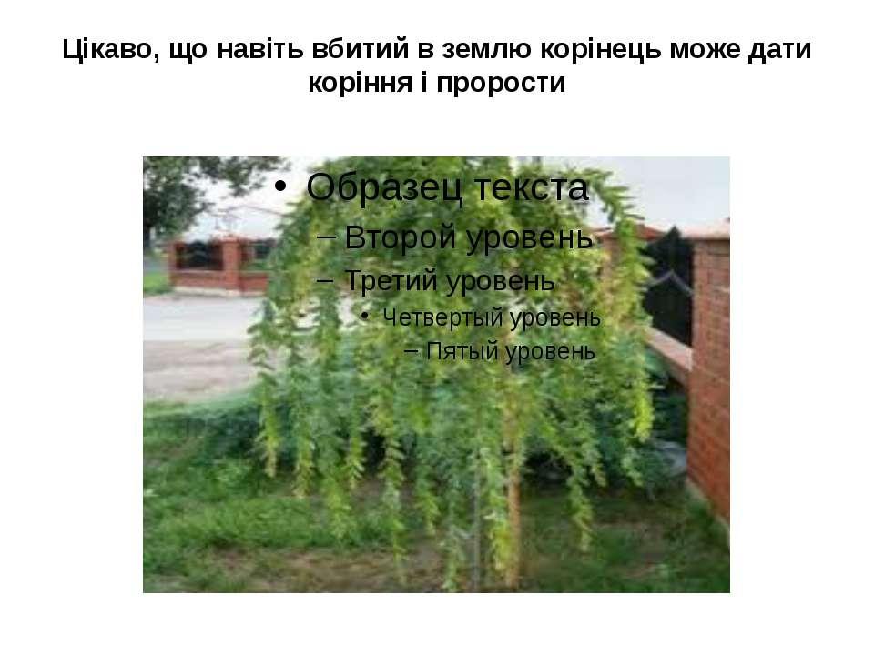 Цікаво, що навіть вбитий в землю корінець може дати коріння і прорости