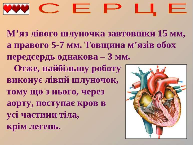 М'яз лівого шлуночка завтовшки 15 мм, а правого 5-7 мм. Товщина м'язів обох п...