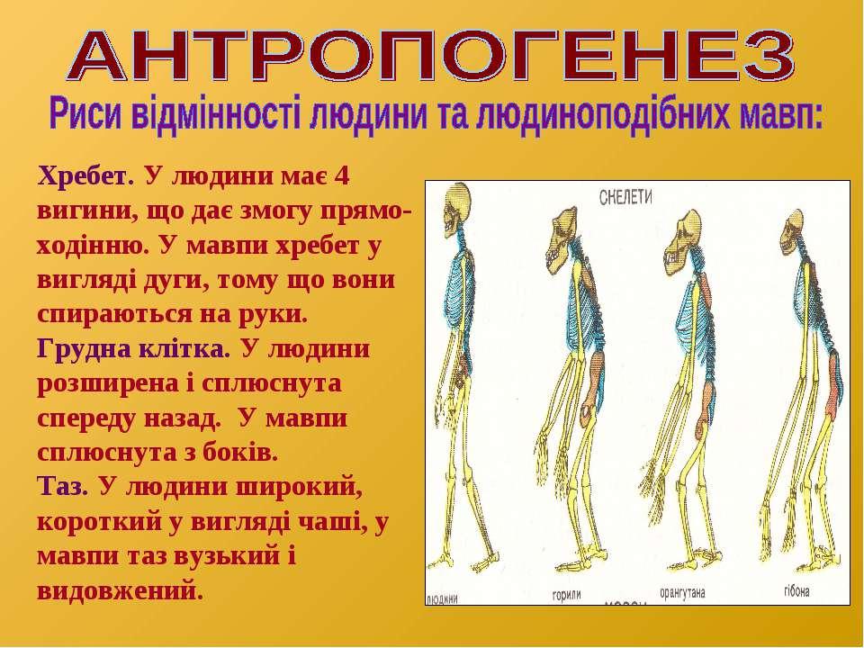 Хребет. У людини має 4 вигини, що дає змогу прямо- ходінню. У мавпи хребет у ...
