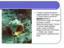 У моря потрапили багато видів-шкідників. Прикладом є поява хижого молюска рап...