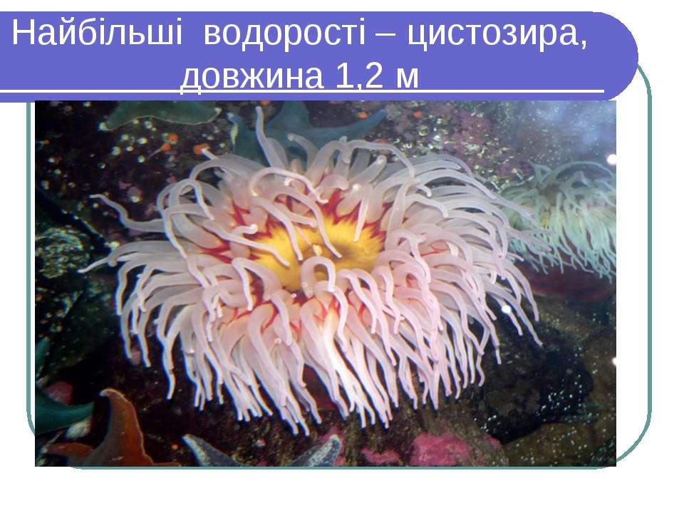 Найбільші водорості – цистозира, довжина 1,2 м