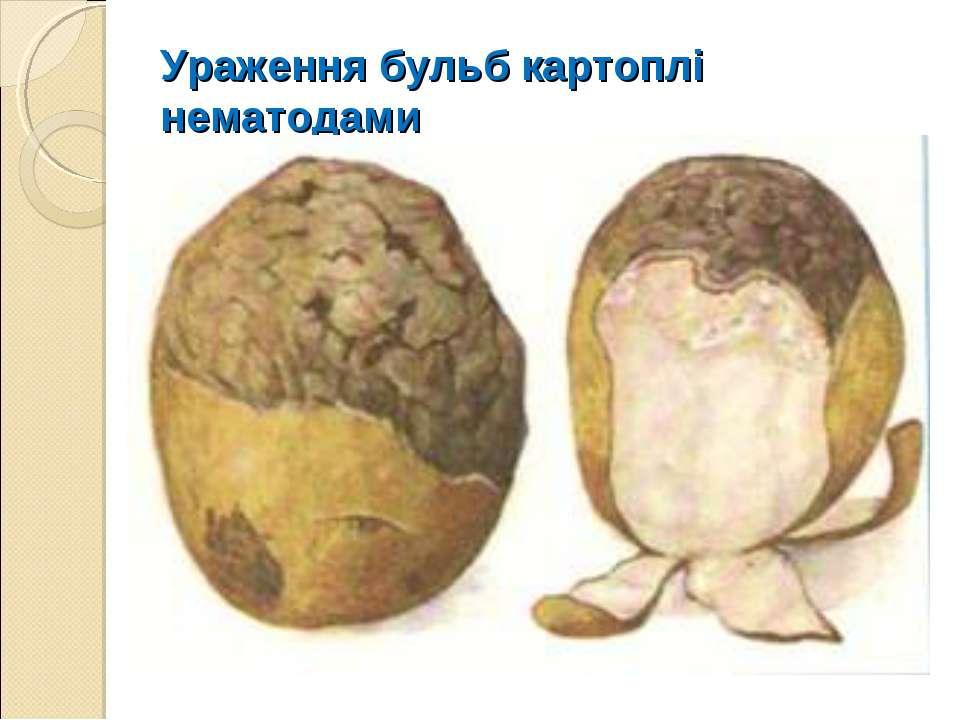 Ураження бульб картоплі нематодами