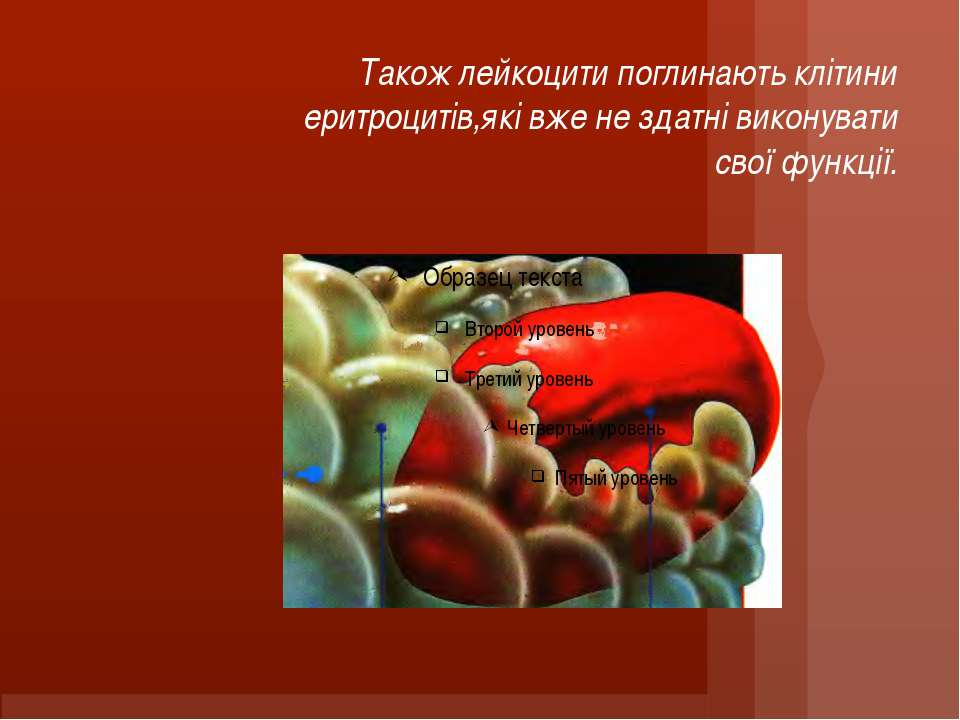 Також лейкоцити поглинають клітини еритроцитів,які вже не здатні виконувати с...