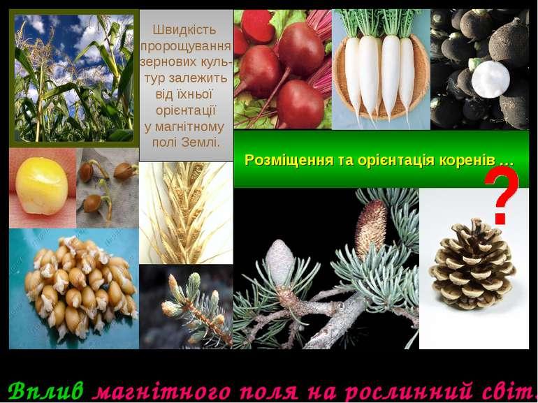 Вплив магнітного поля на рослинний світ. Швидкість пророщування зернових куль...