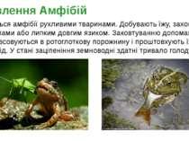 Живляться амфібії рухливими тваринами. Добувають їжу, захоплюючи її щелепами ...