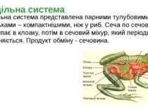 Видільна система представлена парними тулубовими бруньками – компактнішими, н...