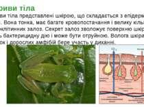 Покриви тіла представлені шкірою, що складається з епідермісу і дерми. Вона т...