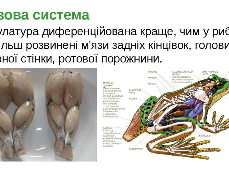 Мускулатура диференційована краще, чим у риб. Найбільш розвинені м'язи задніх...