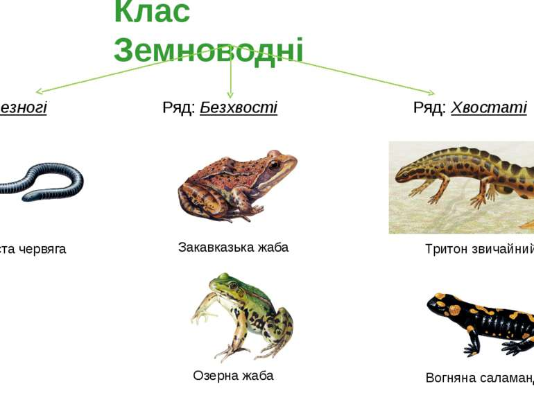 Ряд: Безхвості Ряд: Хвостаті Озерна жаба Закавказька жаба Вогняна саламандра ...