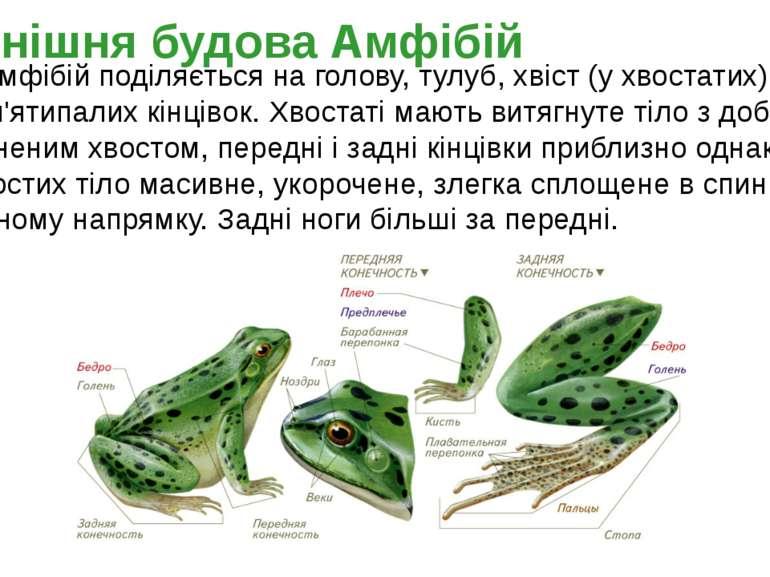 Тіло амфібій поділяється на голову, тулуб, хвіст (у хвостатих) і дві пари п'я...