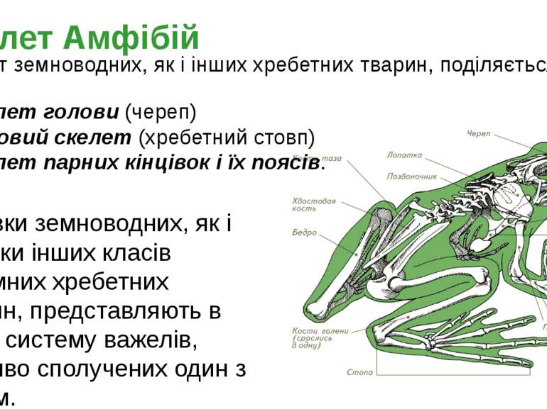 Скелет земноводних, як і інших хребетних тварин, поділяється на: скелет голов...