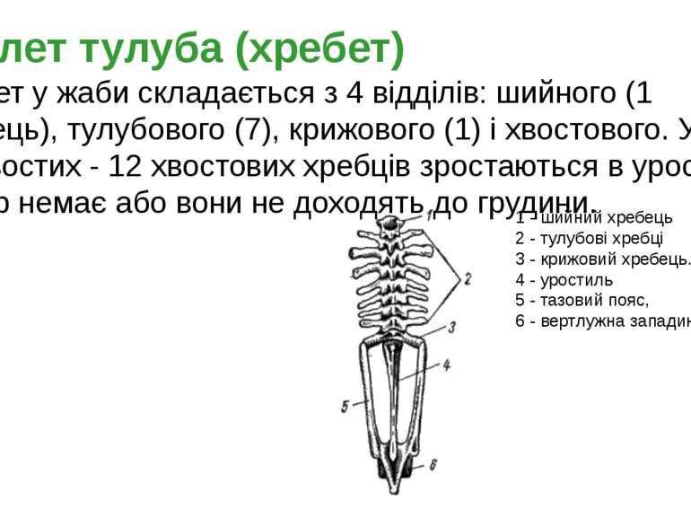 1 - шийний хребець 2 - тулубові хребці 3 - крижовий хребець. 4 - уростиль 5 -...