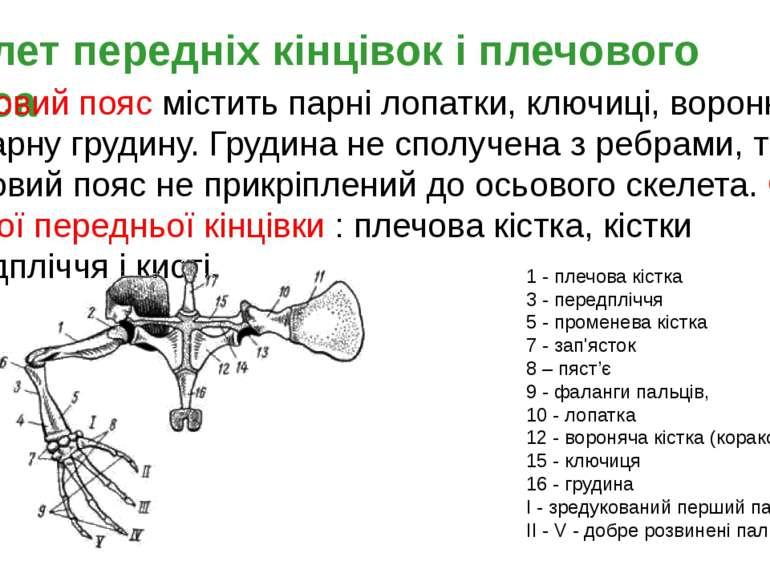 Скелет передніх кінцівок і плечового пояса Плечовий пояс містить парні лопатк...