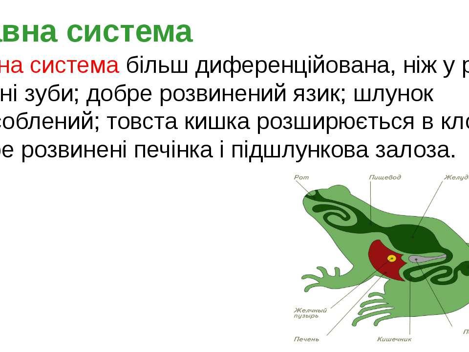 Травна система більш диференційована, ніж у риб. Є конічні зуби; добре розвин...