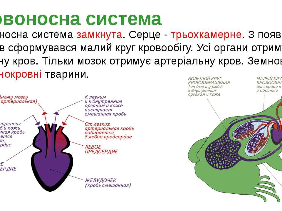 Кровоносна система замкнута. Серце - трьохкамерне. З появою легенів сформував...