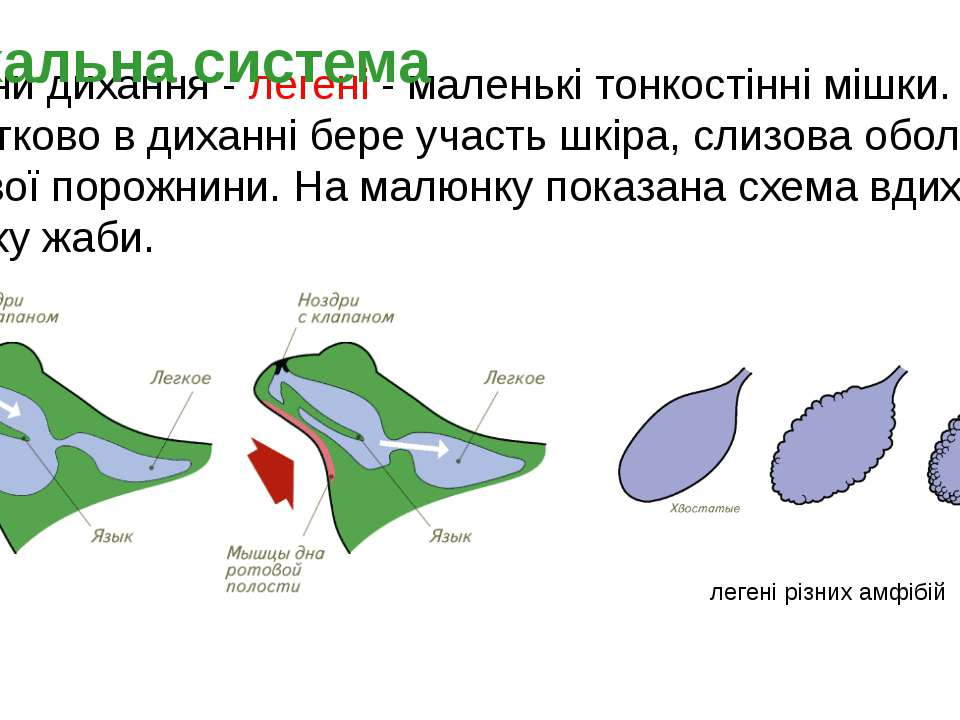 Органи дихання - легені - маленькі тонкостінні мішки. Додатково в диханні бер...