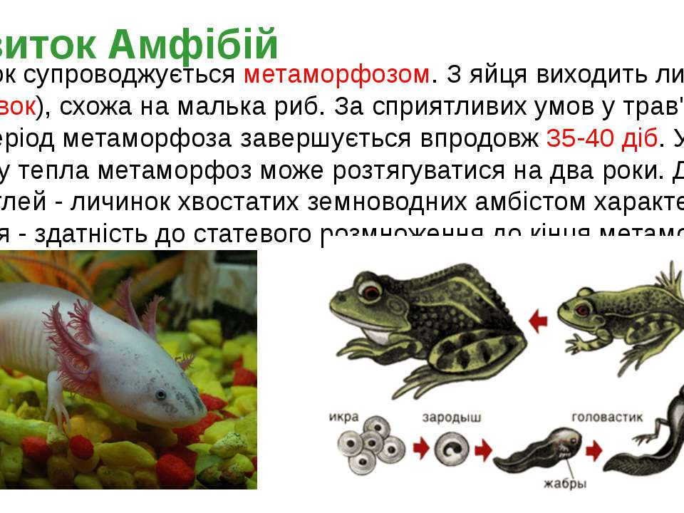 Розвиток супроводжується метаморфозом. З яйця виходить личинка (пуголовок), с...