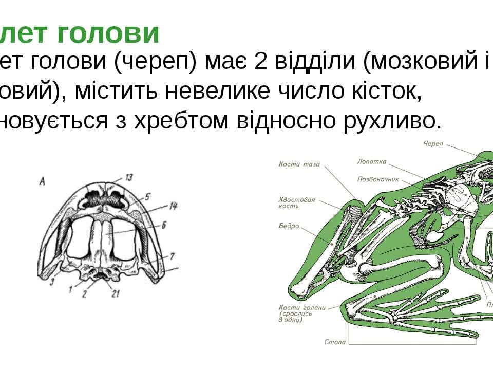 Скелет голови Скелет голови (череп) має 2 відділи (мозковий і лицьовий), міст...