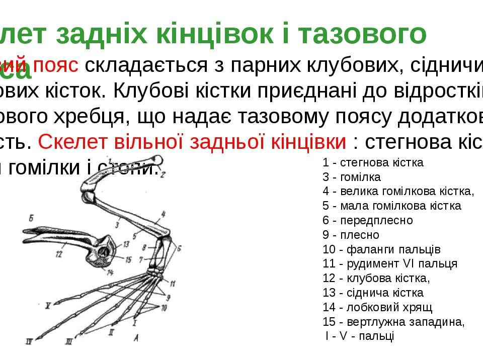 Скелет задніх кінцівок і тазового пояса Тазовий пояс складається з парних клу...