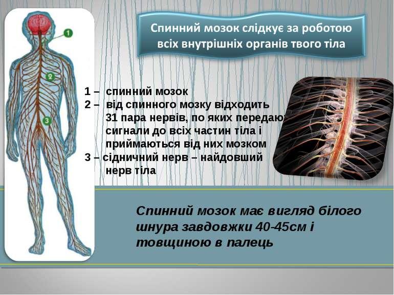 1 – спинний мозок 2 – від спинного мозку відходить 31 пара нервів, по яких пе...