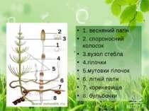 1. весняний пагін 2. спороносний колосок 3.вузол стебла 4.гілочки 5.мутовки г...