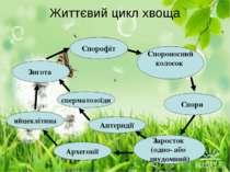 Життєвий цикл хвоща Спорофіт Спороносний колосок Спори Заросток (одно- або дв...
