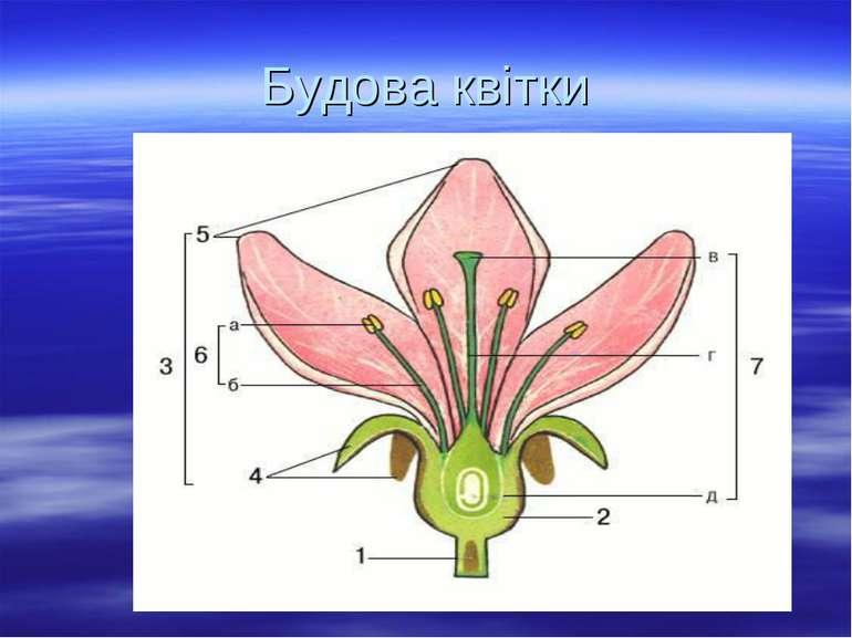 Будова квітки