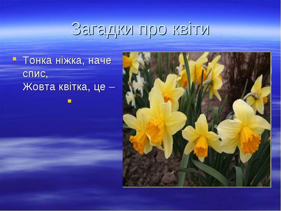 Загадки про квіти Тонка ніжка, наче спис, Жовта квітка, це –