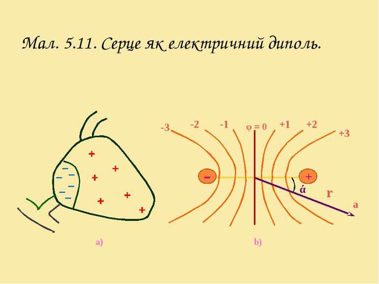Мал. 5.11. Серце як електричний диполь. a) + -3 -2 -1 φ = 0 +3 +2 +1 ά r a b)