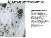 22.Запалення.Фагоцитоз. Запалення.Фагоцитоз. Дві з фагоцитованих бактерій ури...