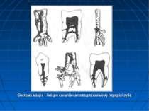 Система макро - і мікро каналів на повздовжнньому перерізі зуба